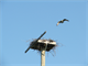 Osprey flying to nesting platform.